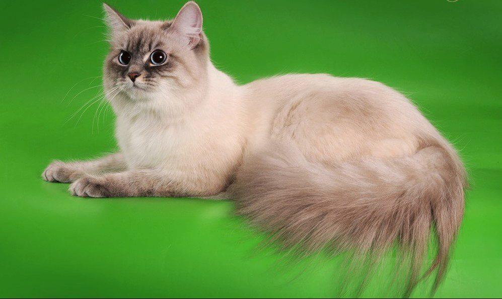 невская кошка