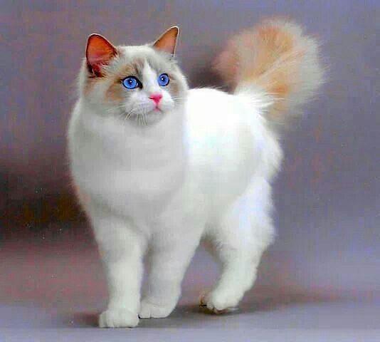 охос азулес кошка