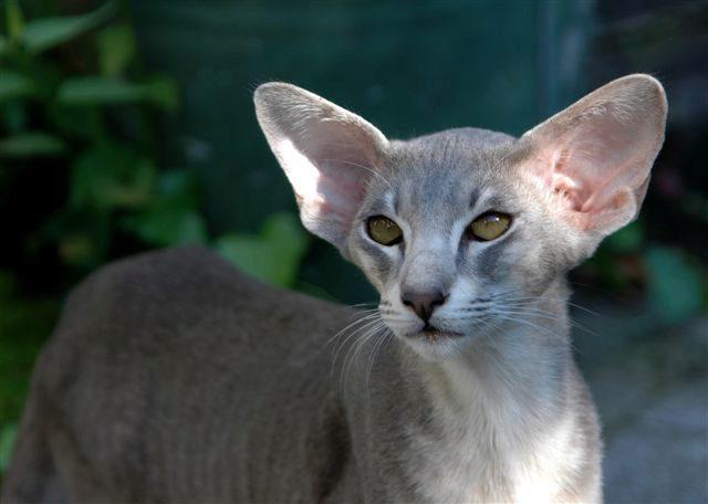О ориентальной породе кошек