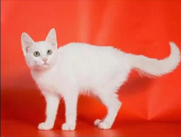 О породе анатолийская кошка