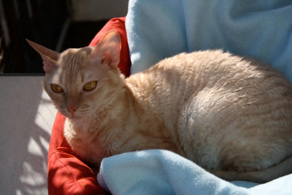 дымчато-рыжий рекс на полотенце