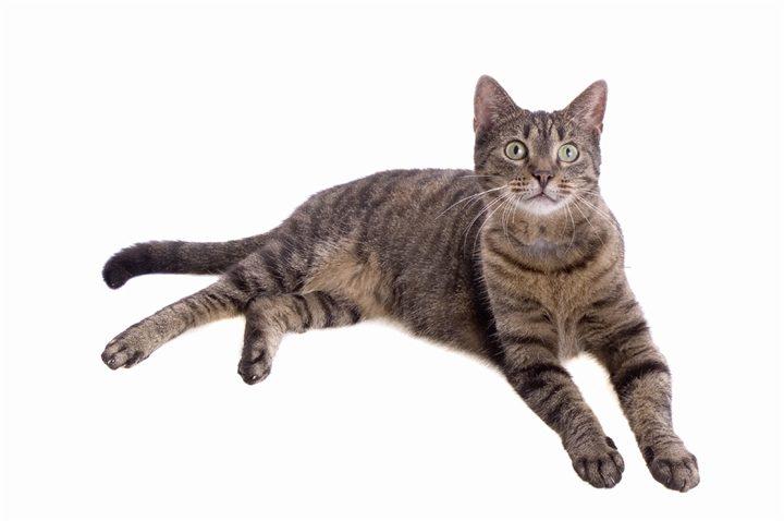 О породе кельтская кошка