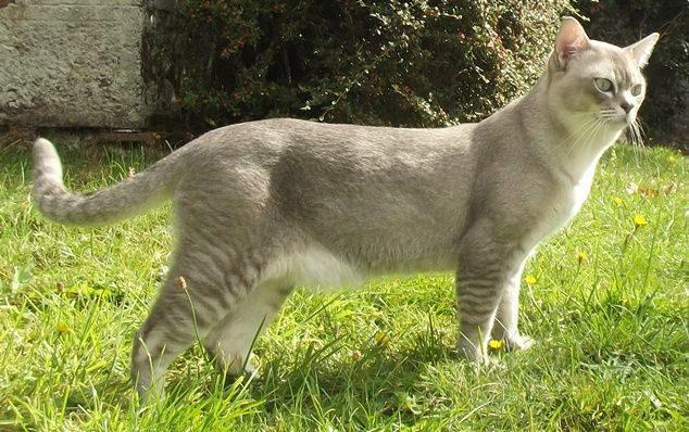 О породе кошек табби
