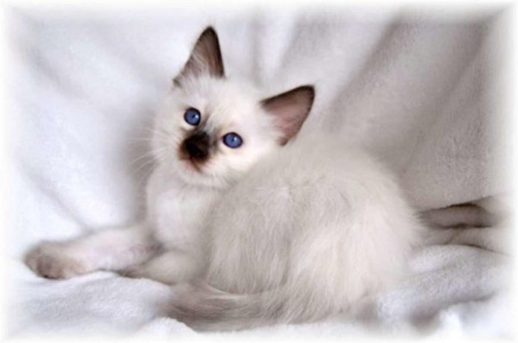 балинезийский котёнок