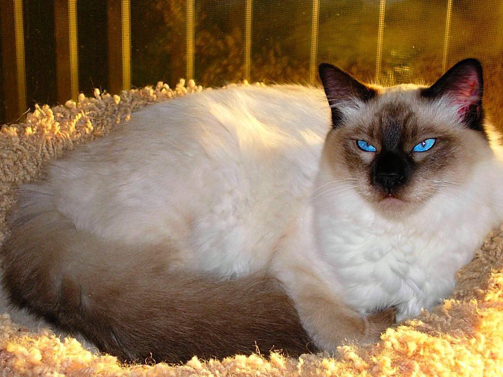 О породе балинез (баленезийская кошка)