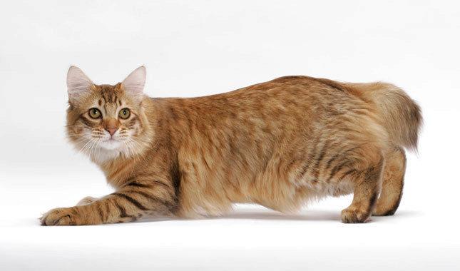 О породе кошек американский бобтейл