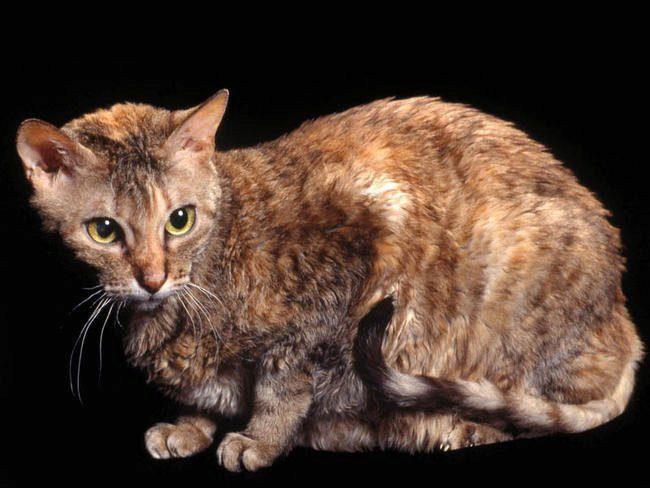 кошка характерной внешности