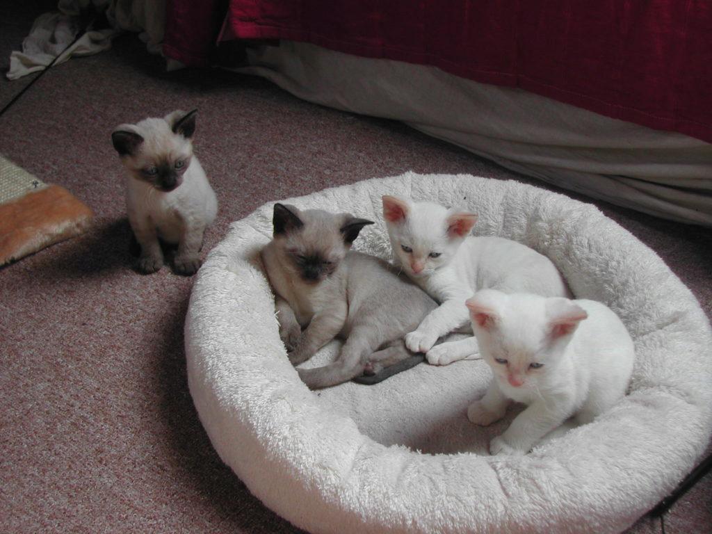 белые и серые котята на пуфике