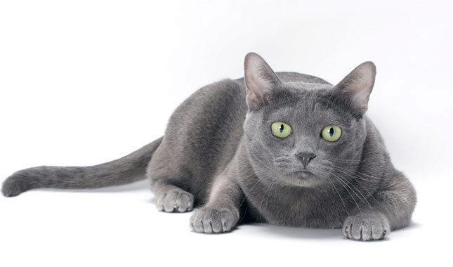 О породе кошек корат