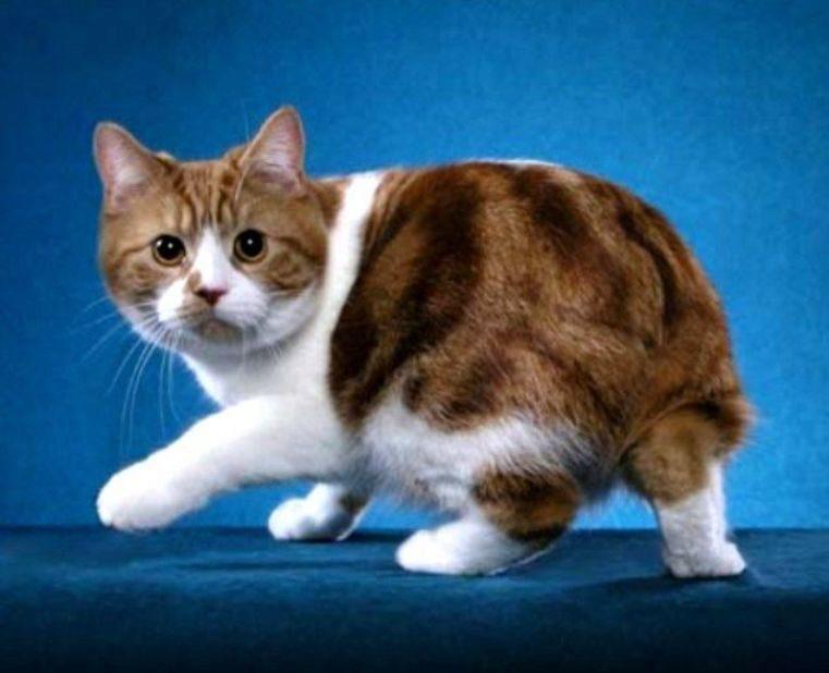 Мэнкс кот