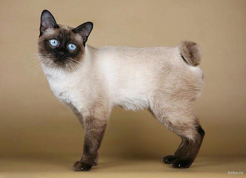 О породе кошек меконгский бобтейл