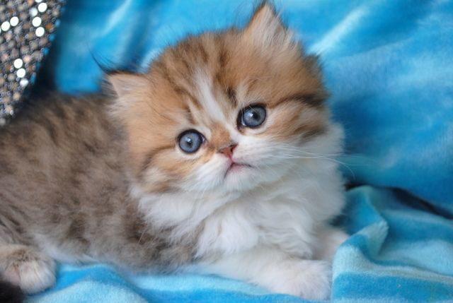 наполеон котёнок