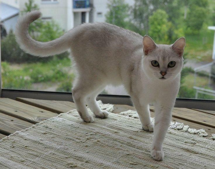 Бурмилла кошка
