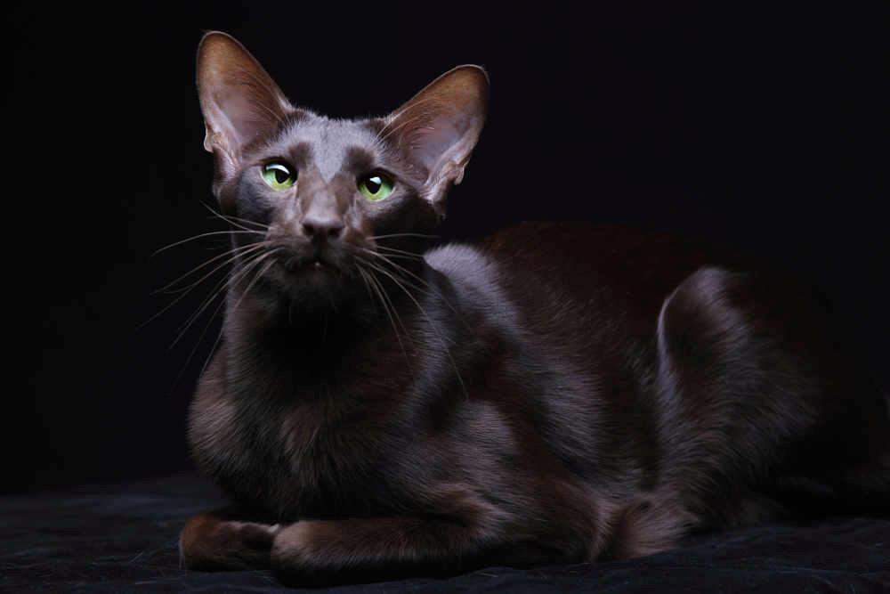 гавана кошка фото