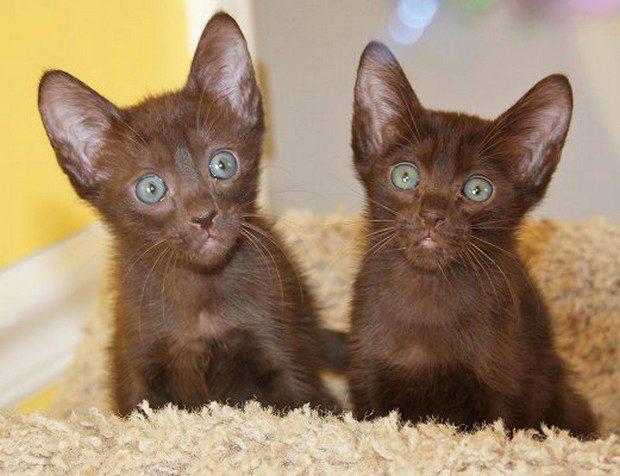 О породе кошек гавана