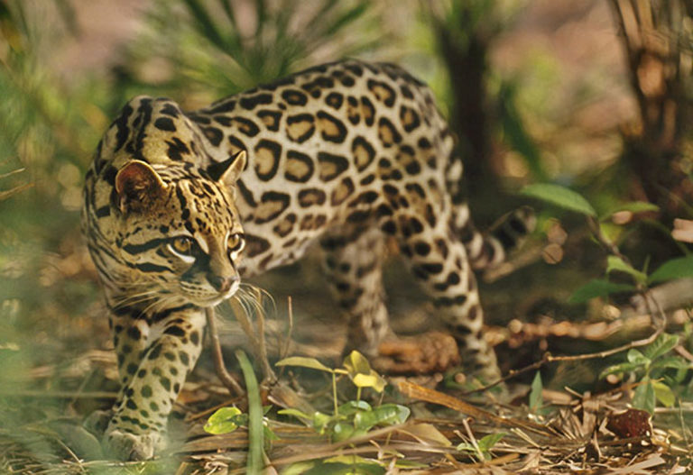 ocelots notes facts With a range that stretches from texas to argentina, ocelots live in grasslands, marshes, scrub thickets, jungles and forests these small cats reach 2 to 45 feet long and weigh 24 to 35 pounds.