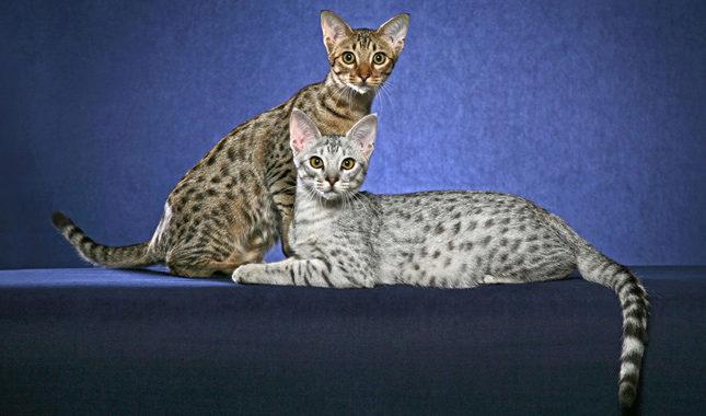 оцикет кошки