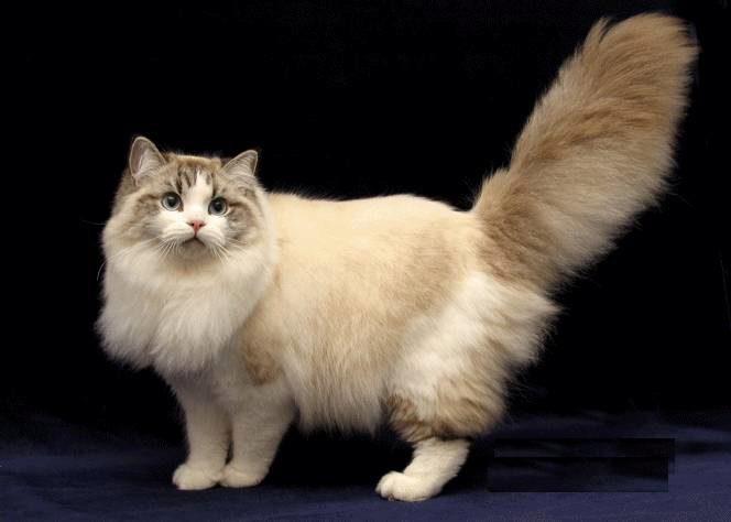 О породе кошек рагамаффин