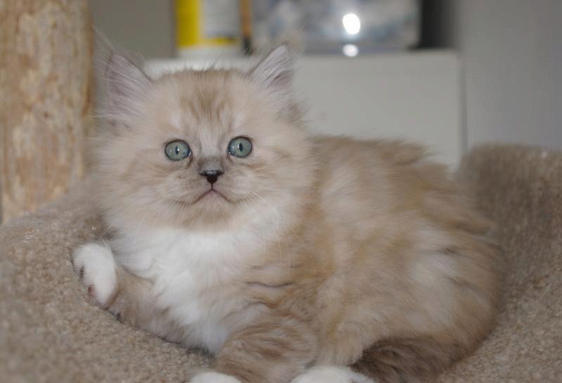 рагамаффин котенок