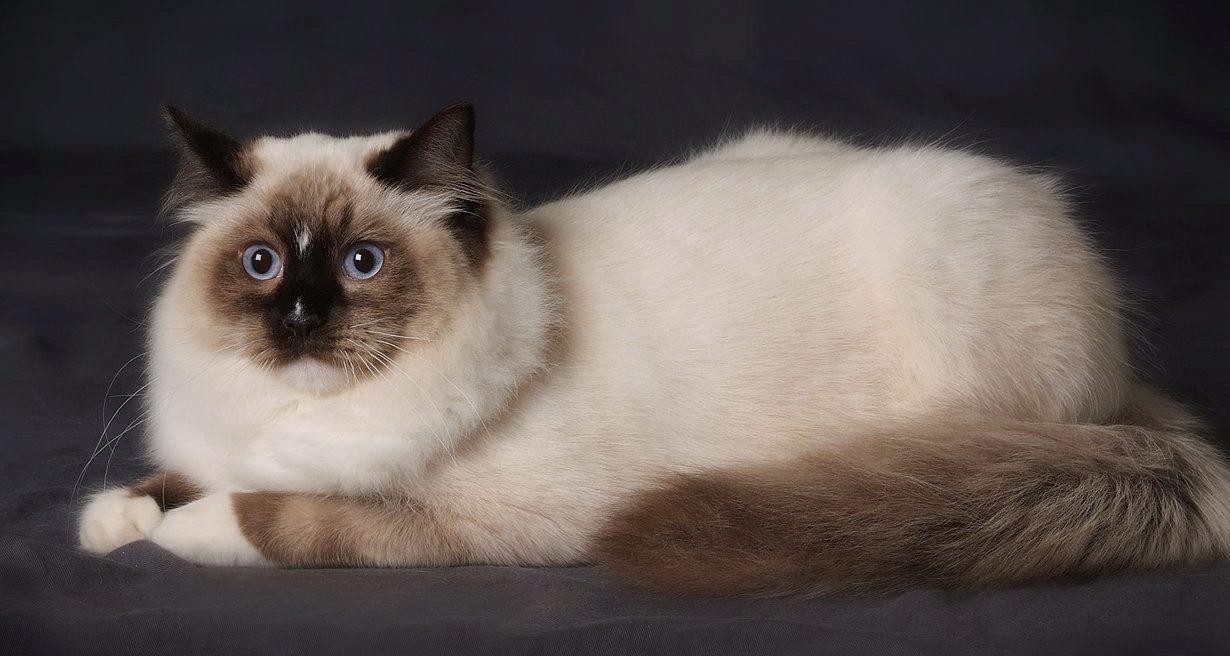 О породе кошек рэгдолл