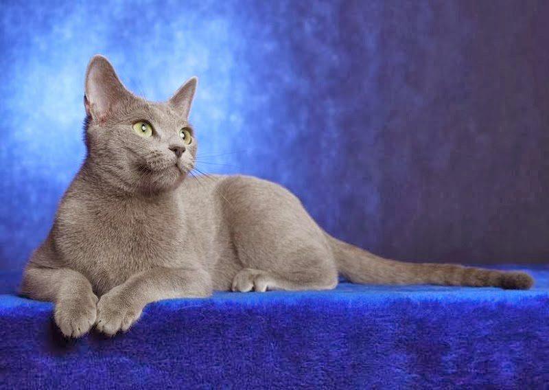 О породе русская голубая кошка