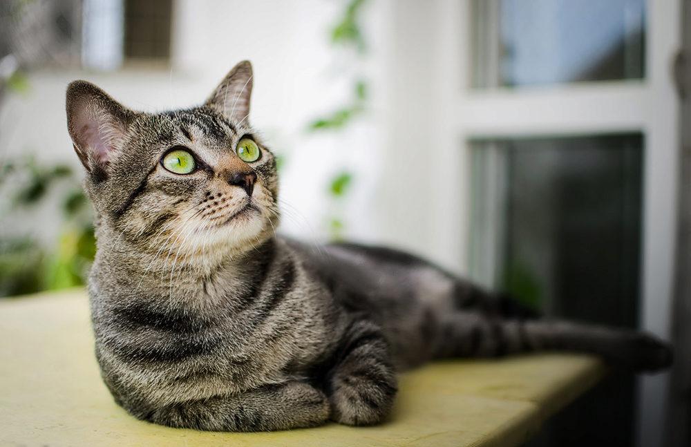 Бразильская короткошёрстная кошка