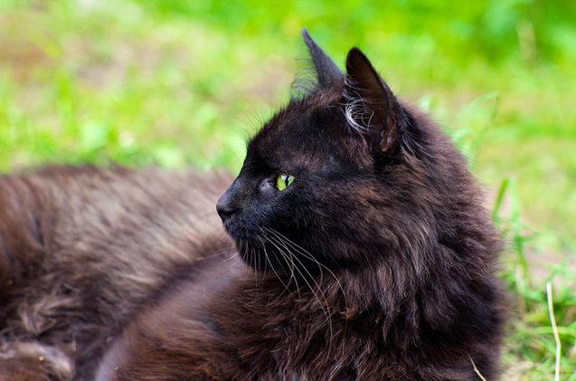 О йоркской шоколадной кошке