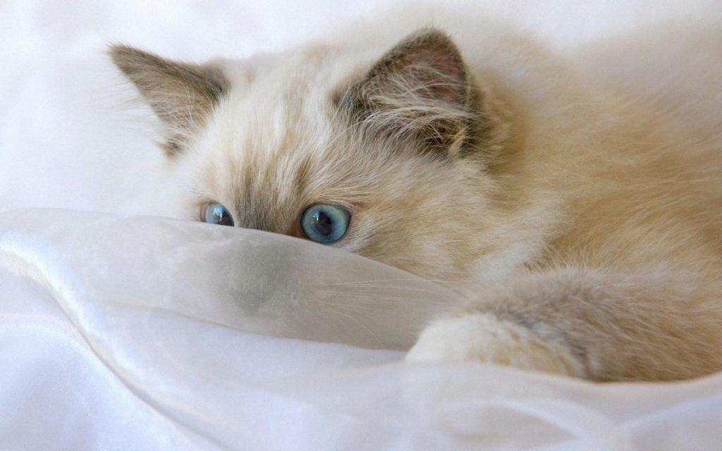 регдолл котенок