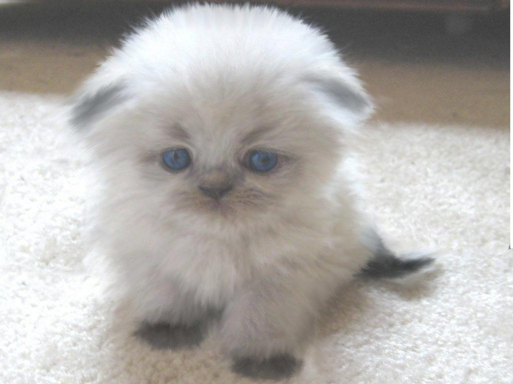 гималайский котёнок