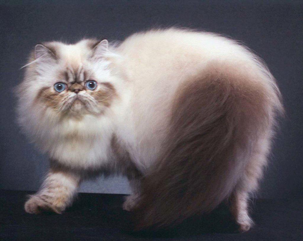 О гималайской породе кошек