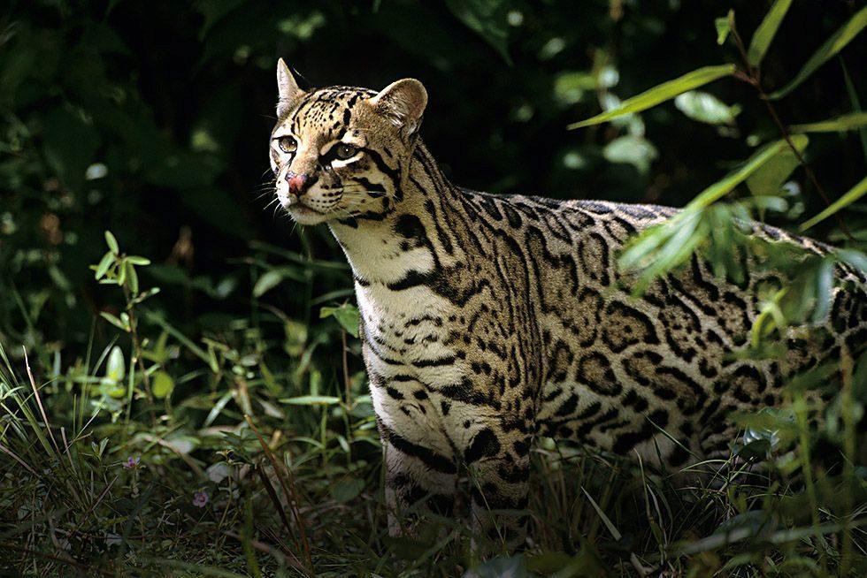 Кот Оцелот