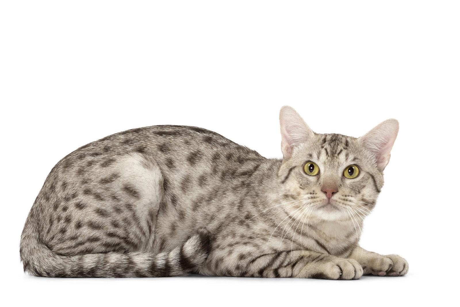 О породе кошек Оцикет