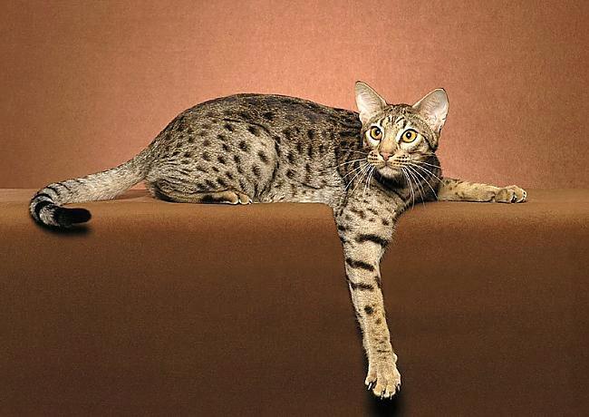 кошка оцикет