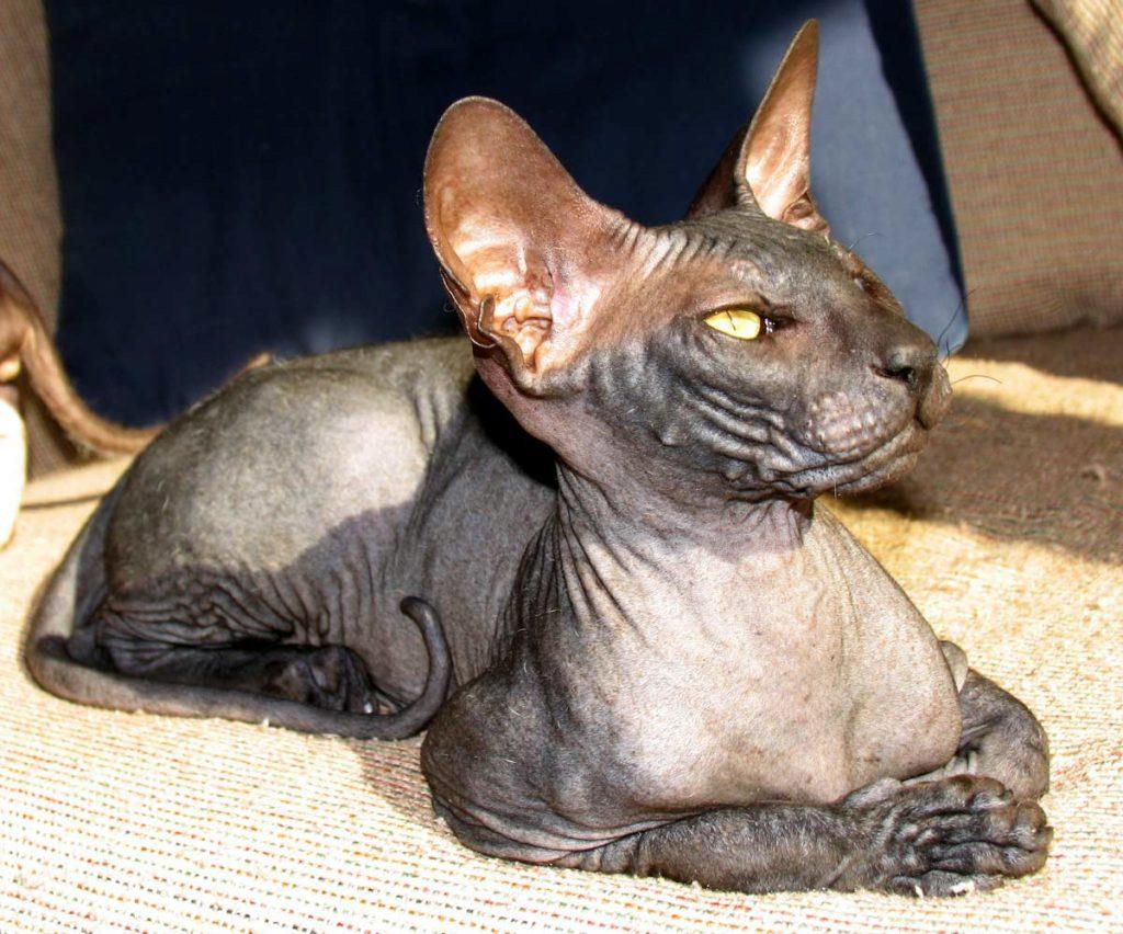 петерболд кошка