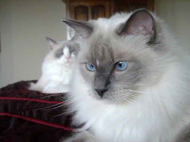регдолл кошки