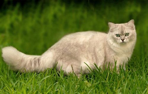 О породе кошек бурмилла
