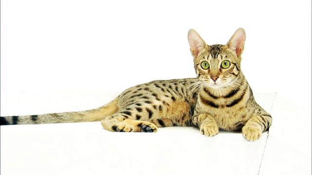 серенгети кот фото