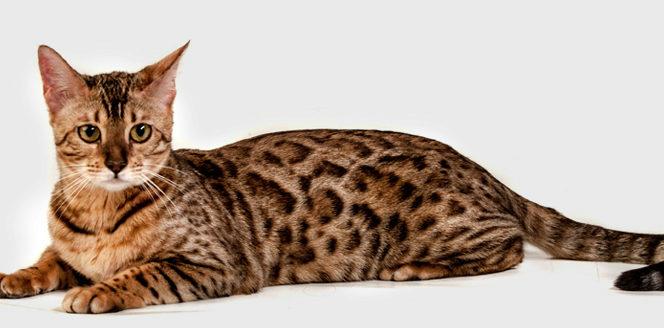 серенгети кот