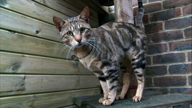 сококе кот