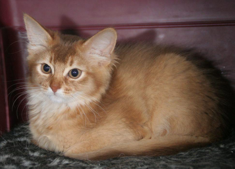 сомалийский котик