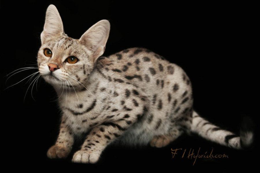 О породе кошек саванна