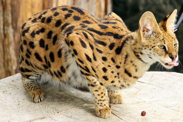 сервал африканский кот