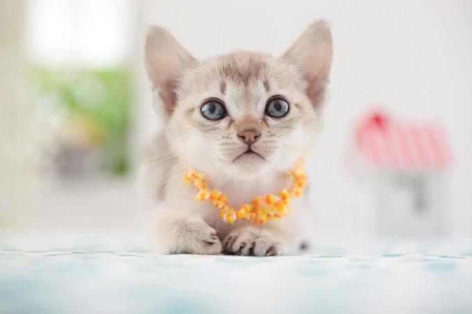 сингапурский нарядный котёнок