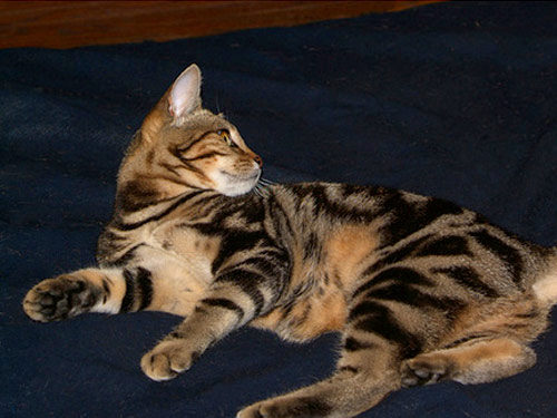 О породе кошек Сококе