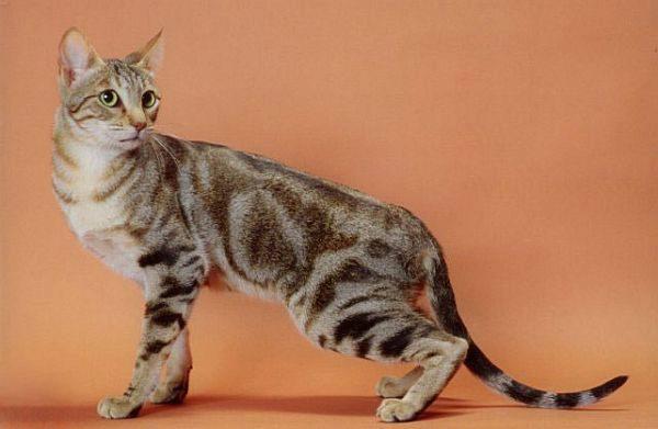 сококе кошка