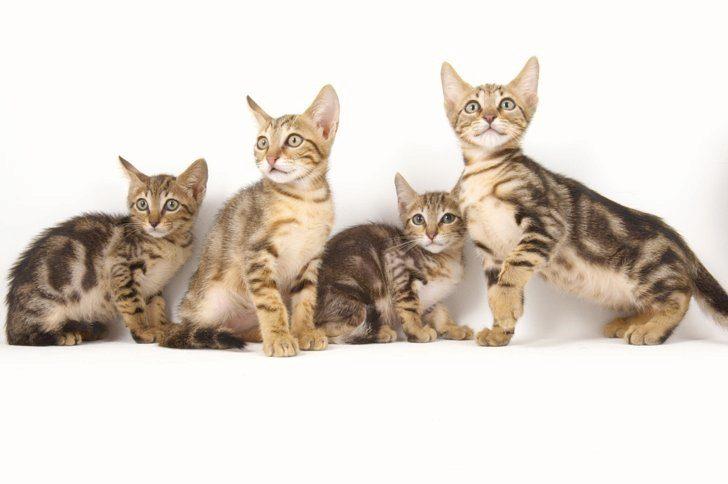 сококе кошки фото
