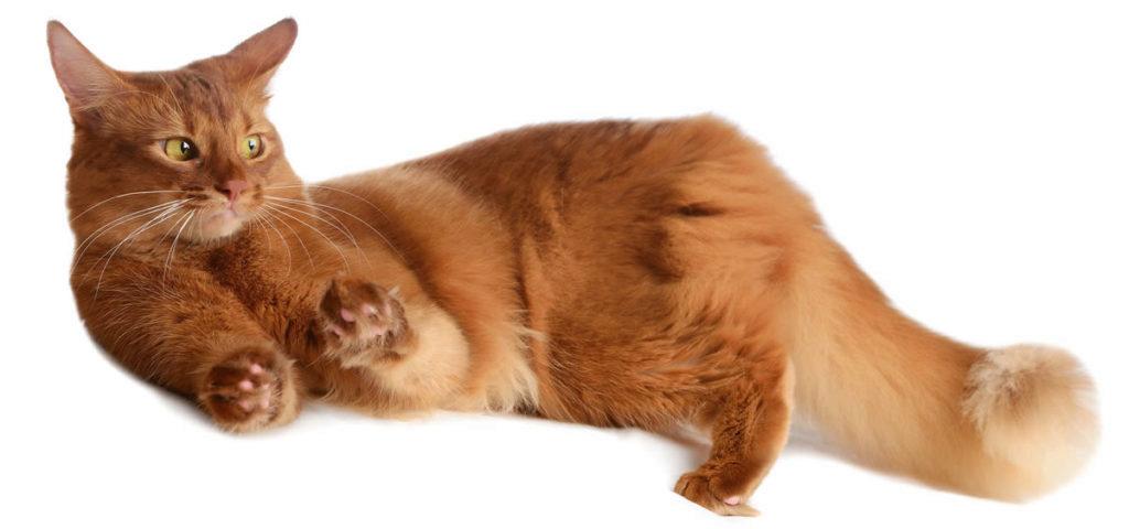 сомалийский кот