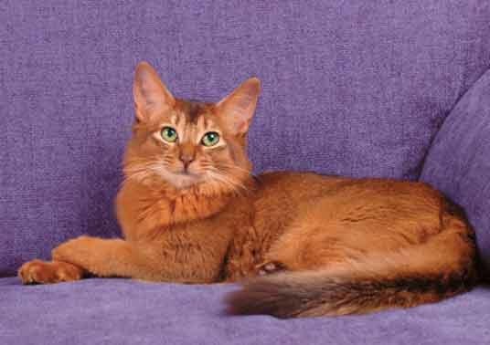 сомалийская кошка лежит на диване