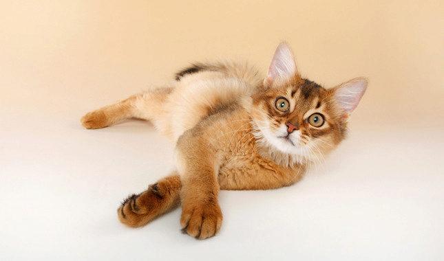 сомалийский котёнок