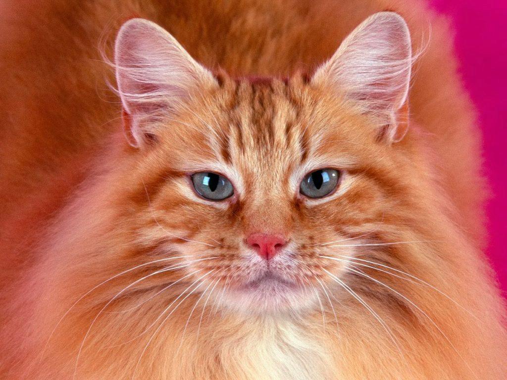 сомалийский кот фото